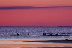 Resting (pelle__66) Tags: sunset bird skne sweden seagul resund lomma msar perjarefall