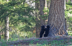 Playtime with Black Bear Cubs - 7972b+ (teagden) Tags: bear park baby playing black cute fun photography cub hall spring funny babies play brothers jennifer wrestling wildlife national yellowstonenationalpark yellowstone cubs playtime wrestle blackbear springtime ynp yellowstonepark blackbearcubs wildlifephotography blackbearcub