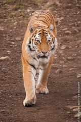 Tiger.jpg (JuSlaughter) Tags: orange white black beauty cat mouth scotland spring highlands big eyes asia quiet stripes teeth tiger ears camouflage killer stealth drool endangered stripey paws rare tigris stalk amur pads protected speyside panthera altaica 2013