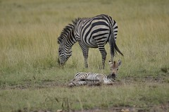 (John Saunders 13) Tags: kenya safari masaimara entimcamp