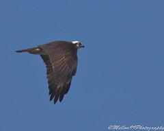 Flying Osprey (Mellon 99) Tags: wild bird nature birds america canon outdoors photography wings wildlife east raptor delaware eastern raptors avian talons dmellon99photography mellon99photography