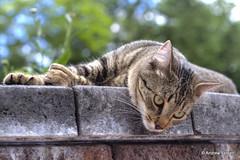 Gato (Andrew E. Larsen) Tags: cat gato imbeautiful papalars a3b andrewlarsenphotography