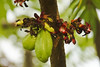 Bilimbi (Averrhoa bilimbi) - Fruit & flowers (Hafiz Issadeen) Tags: srilanka bilimbi averrhoabilimbi