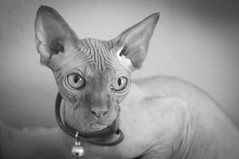 99/365 (thedianna) Tags: cat point cinnamon sphynx hairless peterbald