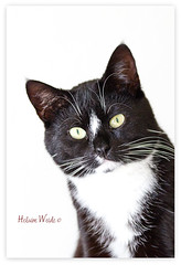 Peek-a-Boo (Helaine37) Tags: portrait white black up animal vertical cat close background peekaboo tuxedo