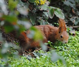 Eichhörnchen, NGIDn1080279389