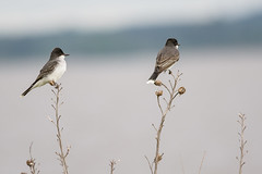 Eastern Kingbirds (Judy Rushing) Tags: pregamesweepwinner