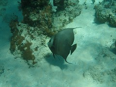 I won the stare down. (awalkerca) Tags: fish scuba angelfish greyangelfish