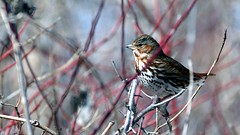 Fox Sparrow, Western Waterfront Trail, 04/20/13 (TonyM1956) Tags: tonymitchell minnesota stlouiscounty nature duluth birds sparrow foxsparrow westernwaterfronttrail sonyphotographing sonyalphadslr