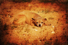 Rose (Krista Cordova Photography) Tags: dog chihuahua cute rose desert tan highdesert olddog purebred purebredchihuahua
