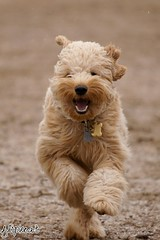 Jumpin' Jack Flash (flipkeat) Tags: dog pet pets cute dogs smiling port jack golden furry different action sony awesome running mini explore doodle credit goldendoodle jumpinjackflash minigoldendoodle dslra500
