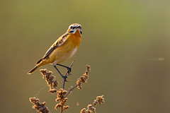 Singing (Emyan) Tags: wild portrait nature birds animals canon whinchat saxicolarubetra