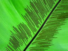 Asplenium nidus / leaf texture (ela_s) Tags: texture leaf linie australia krakw li kompozycja ogrdbotaniczny kreski canons90 polinezja aspeniumnidus afrykawschodnia zanokcicagwiazdowa