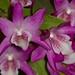Dendrobium Rainbow Dance – Iso Zehner