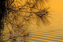 she-oaks and sunsets (loobyloo55) Tags: blue sunset lake tree silhouette yellow gold golden sheoaks