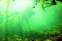 IMG_5951 (2) (SantaFeSandy) Tags: giant snapper turtle cave diving sinks lafayette blue springs state park sandrakosterphotography sandrakosterphotographycom sandykoster sandy sandra santafesandysandrakosterphotographycom sandrakoster algae green sink stevens 1 snake