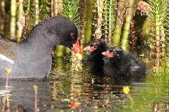 Leighton Moss Cute Moorhens (Ged Gill) Tags: leightonmoss coot chicks feeding
