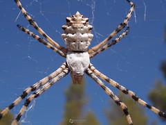 Argiope Lobata ( alfanhu) Tags: argiope lobata aranya araa spider sella marina baixa macro closeup nature insect artrpodo arachnidae