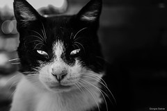 Cat eyes (Giorgos.siat) Tags: cat kitty kitten animal eyes eye deep ioannina giannena giannina nikon nikonphotography d3200 black white blackandwhite blackwhite blacknwhite hair dusty animals      epirus      pet monochrome depth field dirty dirt