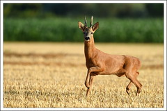 STOP la photo!!! (guiguid45) Tags: nature sauvage animaux mammifres loiret d810 nikon 500mmf4 chevreuil brocard capreoluscapreolus roedeer ree