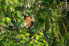 Proboscis Monkey, Sungai Kinabatangan River Excursion, Day 3, Sabah, Malaysia (ARNAUD_Z_VOYAGE) Tags: kota kinabalu sabah malaysia island borneo eastern river landscape boat capital district rajang mosque house building street jesselton west state coast mount sea market color