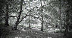 The Woods (hall1705) Tags: blackwhite mono nature trees woods forest hesworth common fittleworth p340 nikon coolpix pointandshoot leaves branches path walk d3200