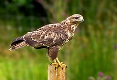 Common buzzard (buteo buteo ) - waiting for its moment !! (Mid Glam Sam1) Tags: birdofprey buteobuteo commonbuzzard perched post wales buzzard hawk raptor
