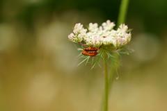 red.......... (atsjebosma) Tags: flower insect bloem macro bokeh atsjebosma summer zomer july juli 2016 lauwersmeer groningen thenetherlands red rood soldaatjes ngc npc