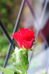 DSC_5579 (PeaTJay) Tags: nikond300s sigma reading lowerearley berkshire macro micro closeups gardens indoors nature flora fauna plants flowers rose roses rosebuds