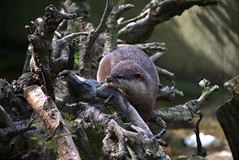 Fischotter (hwl.weber) Tags: nikond750 fx zoowuppertal tierpark sugetier fischotter outdoor