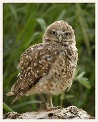 Burrowing Owl (gauchocat) Tags: arizonasonoradesertmuseum tucsonarizona