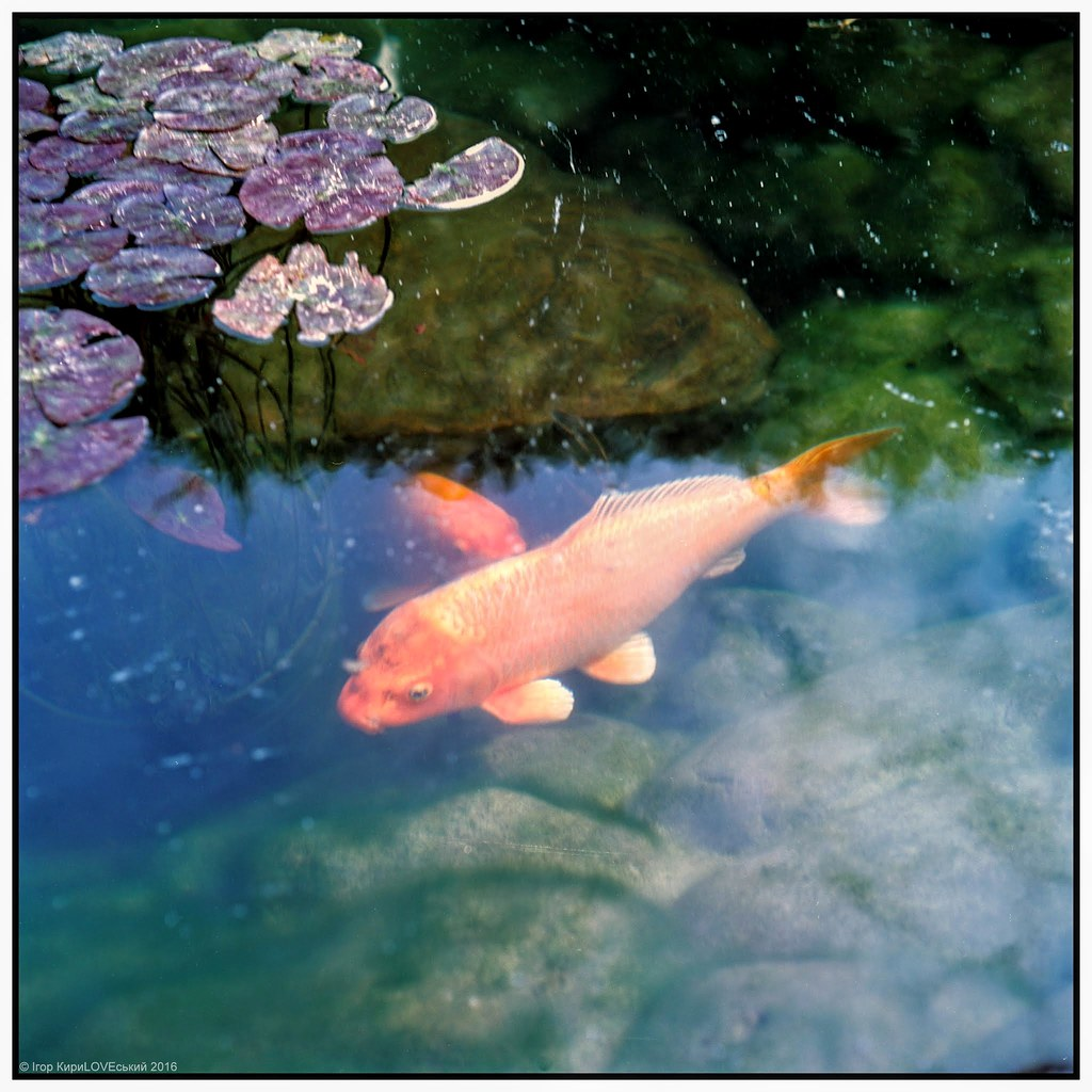 The world 39 s best photos of koi and nishikigoi flickr for Nishikigoi koi