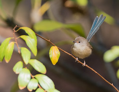 So frustrating (christinaportphotography) Tags: variegatedfairywren maluruslamberti fairywren mardi centralcoast nsw australia bird birds wild free male eclipse plumage focus dof bokeh