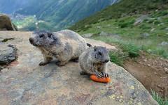 marmot (welenna) Tags: alpen alps animals switzerland summer schwitzerland swiss berge mountains mountain tiere marmot murmeltier saasfee