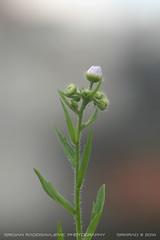 White flower #3 (srkirad) Tags: white flower bloom spring belgrade beograd serbia srbija prolece cvet