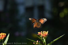 Landing gear engaged... (dbifulco) Tags: andover colors flight flower flying garden insect male milkweed monarchbutterfly nature newjersey nikkor300f4pfed orange wildlife wings