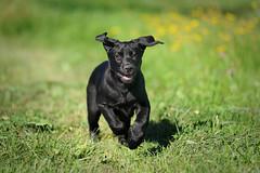 Bichou (uwe.kast) Tags: labrador labradorretriever labradorredriver welpe puppy hund dog d3 nikon nikond3