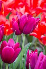 Fauves (Pat Charles) Tags: tulip tulipa keukenhof garden botanicgardens amsterdam netherlands holland europe travel tourism flower flora floral colour color purple red nikon spring bloom plant fauves fauve fauvism fauvist art movement