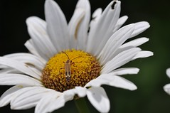 sitting pretty (ladybugdiscovery) Tags: bug insect lightening firefly daisy flower garden white yellow soldierbeetle