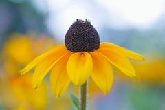 Mellow Yellow (paulapics2) Tags: yellow summer bright fleur flora floral blumen depthoffield soft colourful canoneos5dmarkiii sigma105mm garden nature coneflower rudbekia blackeyedsusan hydehallgardens rhsgarden