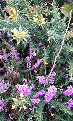 Heather & Gorse (Snowbaby67) Tags: knillssteeple stives cornwall