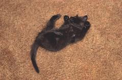 Fast Asleep (dblees) Tags: cat gato chat kitty  koka kat kissa katze gatto kot pisic maka katt  kedi con mo       gata