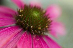Echinacea (amandahaxby) Tags: echinacea daisy flower plant garden nature canon