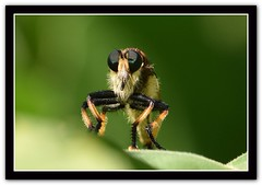 DSC_8901 Robber Fly (tbullipoo) Tags: robber fly insect bug