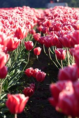 Skagit Valley Tulip Festival 2016 #4 (Aneonrib) Tags: washington state tulips mount vernon wa sun sunset flowers roozengaarde april tulip festival annual skagit valley spring northwest county evening landscape field flowerbed plant flower outdoor pink red