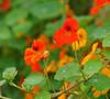 Tropaeolum majus (Nasturtium) (Todd Boland) Tags: flowers nasturtium tropaeolum