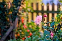 Impression of our garden (Andreas669) Tags: flower flowers fence zaun heckenpflanzen hecke abendstimmung abendsonne eveningsun evening garten fujifilm fuji xf56 56mm f12 hff