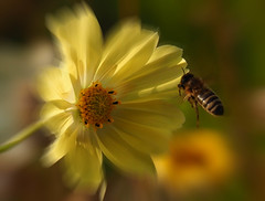 Oops, here I come! (Ostseeleuchte) Tags: eutin landesgartenschau blumen blten flower bee bieneimanflug natur nature 2016 september