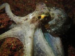 The Common Octopus (Gomen S) Tags: octopus animal wildlife nature ocean marine sea underwater diving rocky hk hongkong china asia tropical 2016 autumn night olymups tg3 pt056