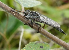 Kite-tailed robberfly Machimus atricapillus female  asilidae (BSCG (Badenoch and Strathspey Conservation Group)) Tags: gos asilidae